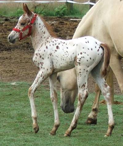 Gaited appaloosa, Walkaloosa, Spanish Jennet, Tiger Horse Colt