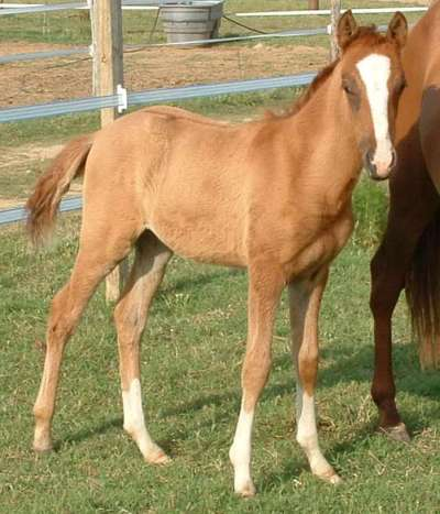NASHA - Walkaloosa - Tiger Horse - Spanish Jennet Filly