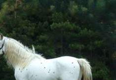 Spanish Jennet Stallion, Standing Ovation