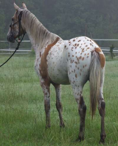 Walkaloosa Gelding - 4 years old
