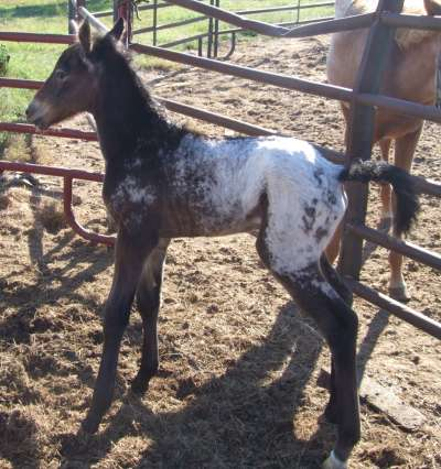 Walkaloosa Filly
