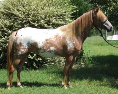 Tiger horse breed - photo#13